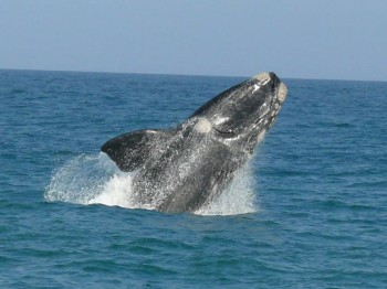 breaching-whale-watching-hermanus