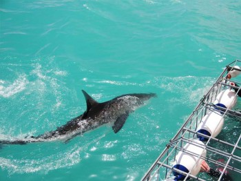 shark-cage-diving-gansbaai